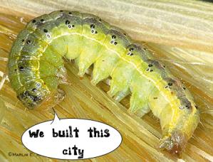 cornearworm2